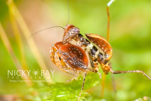 Boxer Mantis (Otomantis sp.?) - DSC_6447