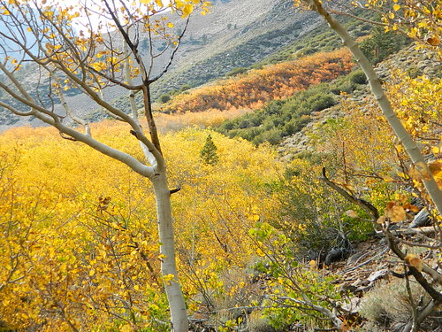 Autumn Aspens in California