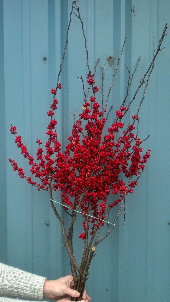 ilex berries loaded with berries