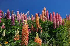 Russell Lupins.