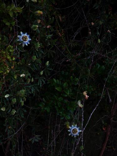 Dos flores de la pasión by JoseAngelGarciaLanda