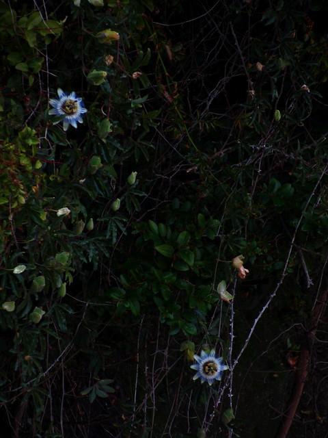 Dos flores de la pasi�n