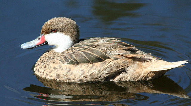 white cheeked pintail (1)