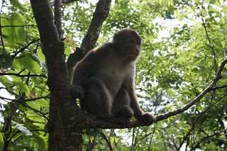 Emei Shan Monkey, waiting for more food