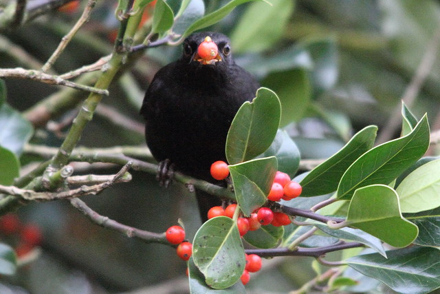 Blackbird and Holly Berry