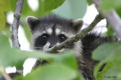 animal, raccoon, marsupial, mammal, fauna, procyon, wildlife,