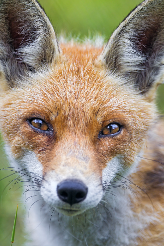 Close portrait of a male fox