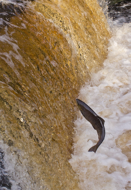 salmon leaping-5