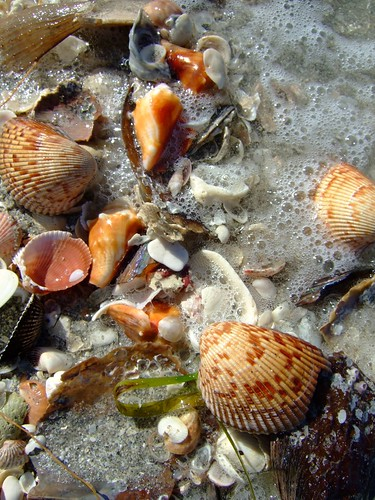Shelling at South Seas Island Resort, Captiva