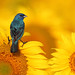 Indigo Bunting on Sunflower by mike o1