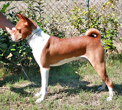 dog breed, animal, hound, dog, pet, ibizan hound, carnivoran, basenji, terrier,