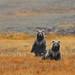 Himalayan Brown Bear by Zahoor-Salmi