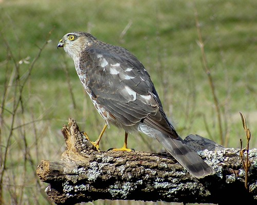hawk kentucky kos sharpshinnedhawk accipiterstriatus warrencounty jackiebelmore