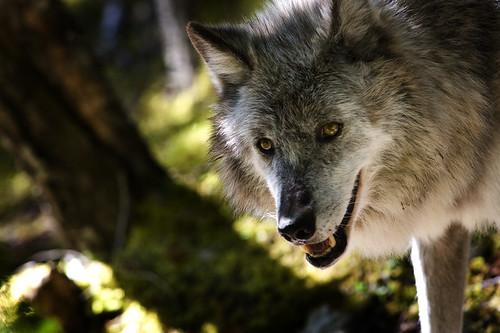 Grey Wolf (Canada) by doublejwebers