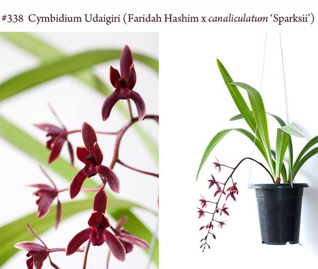 Cymbidium Udaigiri