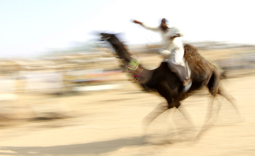 7095a Really fast--Pushkar Camel Race , Rajasthan , India