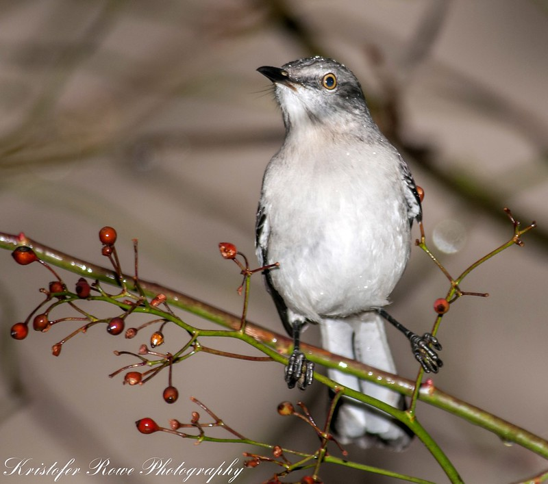 Mockingbird in the Rain -