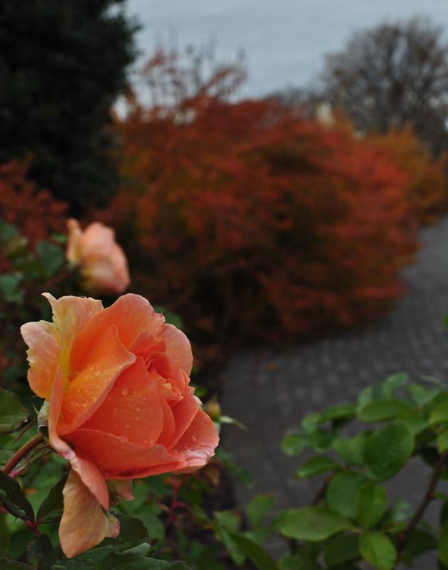 Rosa 'Honey Perfume'