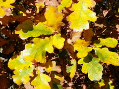 English Oak (Quercus robur) autumn leaves