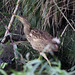 American Bittern_8585 (Santa Maria, Azores, 11 Oct 2009) © Dominic Mitchell