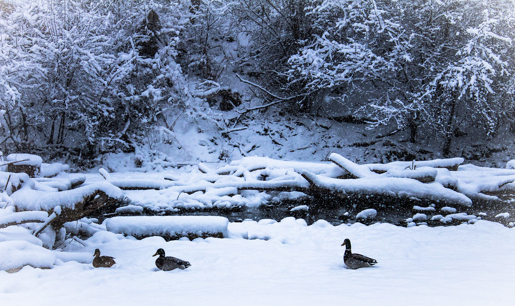 Ducks in the Minnesota Snow