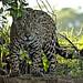 Jaguar (Ian Bruce)