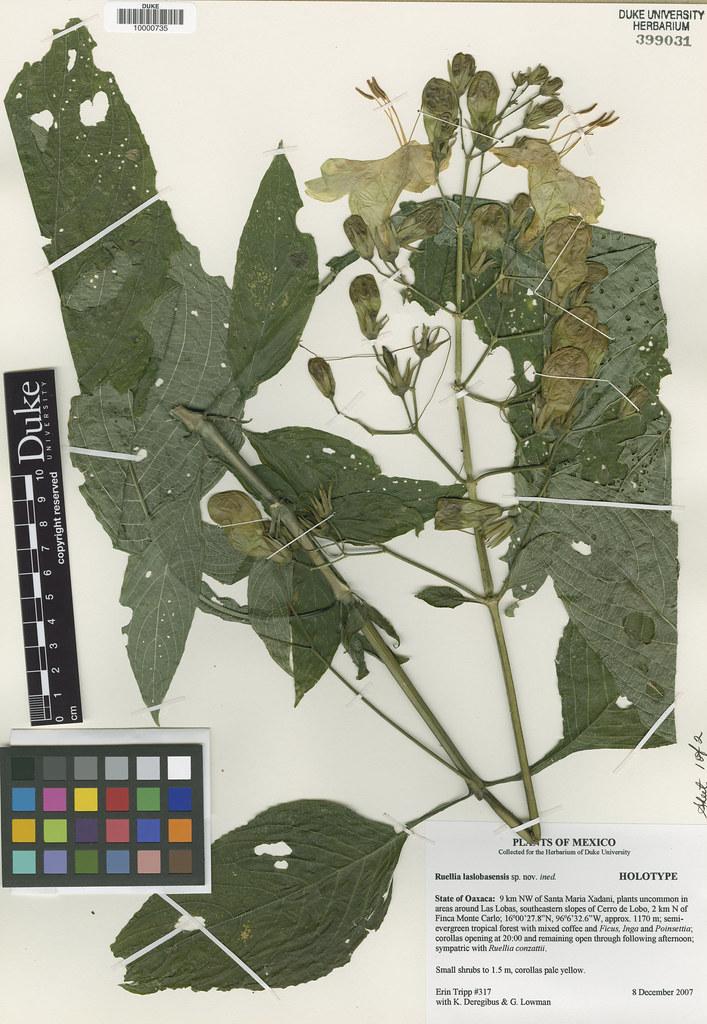 Acanthaceae_Ruellia laslobasensis