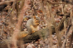 Squirrel Eating in the Woods