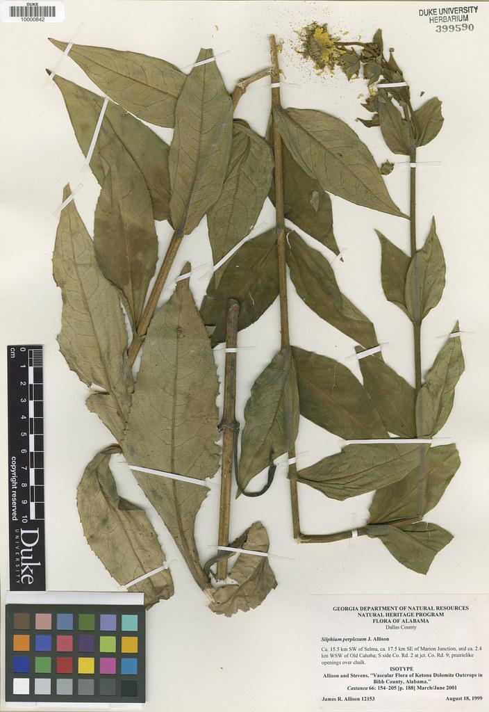 Asteraceae_Silphium perplexum
