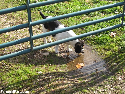 Bert lapping up a puddle - FarmgirlFare.com