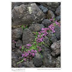 Creeping Thyme (Thymus serpyllum), Lava Field, Iceland