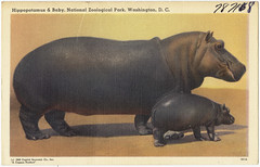 Hippopotamus & baby, National Zoological Park, Washington, D. C.