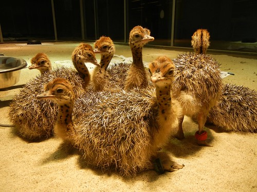 week old ostriches at Cal Academy - 5