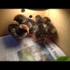 Four new peeps join the school chook family.