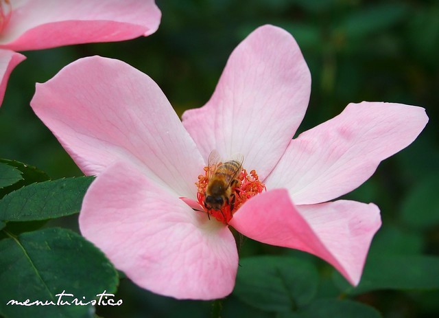 ape su rosa