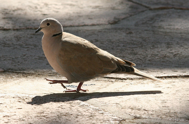 eurasian collared dove 02