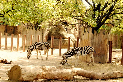 PZ - zebras-001