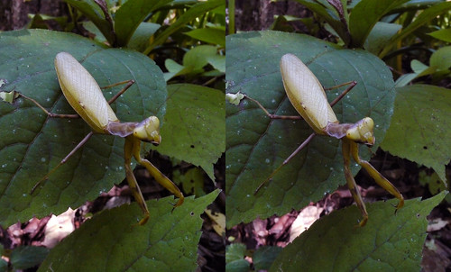 Hierodula patellifera, stereo parallel view