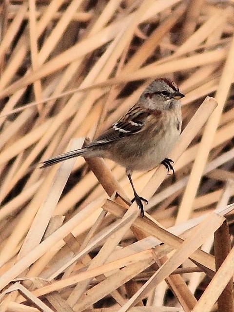 American Tree Sparrow 20121115