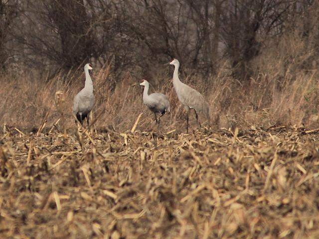 Sandhill Cranes 20121115