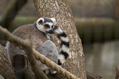 animal, primate, fauna, lemur, meerkat,