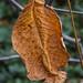 Dying Leaf 2