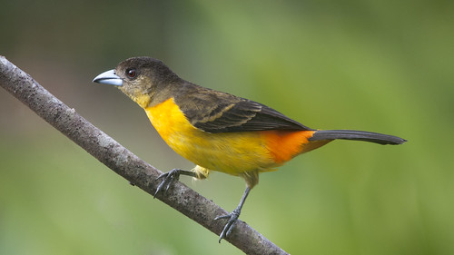 Ramphocelus flammigerus female (Flame-rumped Tanager)-Explored-