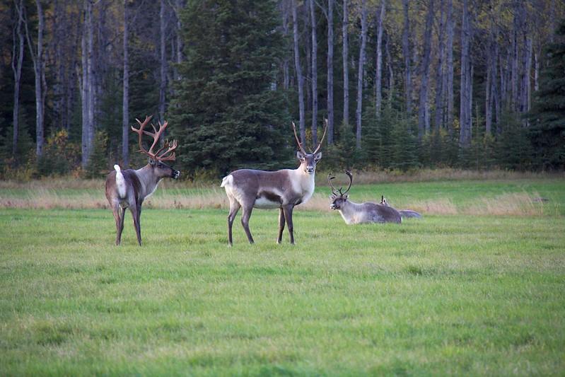 Alaskan Wildlife 16