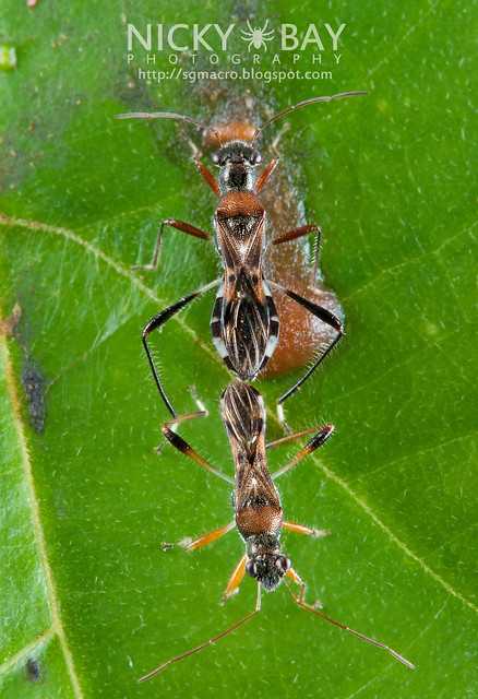 Broad-Headed Bugs (Alydidae) - DSC_4333