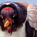 King Vulture giving me the Stinkeye