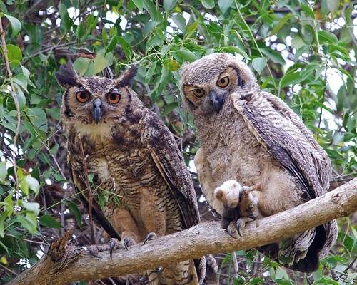 Female Great Horned Owl with Large Chick