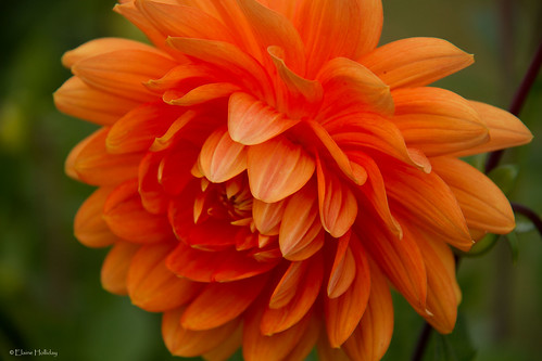 dahlia orange flower nature canon flora floraandfauna canon7d flowerthequietbeauty