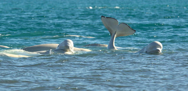 Beluga whales playing in the shallow water near Arctic Wat ...