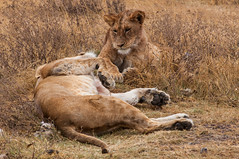 animal, big cats, lion, mammal, fauna, puma, savanna, wildlife,